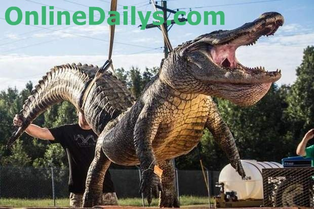 bagging record alligator Image