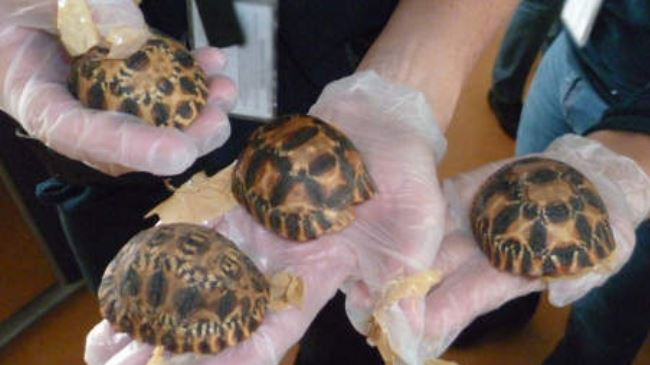 New Discovery | 170 seriously endangered rare tortoises