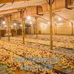 Requirements For Starting Poultry Business In Nigeria